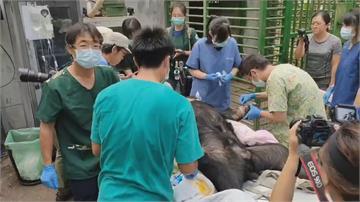 受傷台灣黑熊傷勢恢復移居半室外熊舍「仍須3週恢才可痊癒」