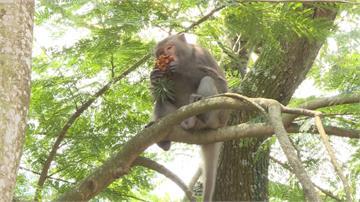 台灣獼猴改非保育類 林務局:仍不可濫殺獵捕