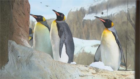 北市動物園首開「白內障手術」 年邁企鵝不再疼痛!