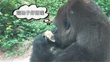 中秋節動物怎麼過?猩猩搶吃柚 圓寶匍匐前進 渾身灰濛濛