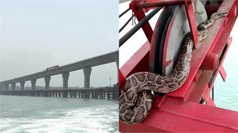 金門大橋驚見「3公尺巨蟒」勇闖16層樓高!工人嚇傻急推入海放生