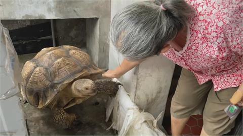 遛狗遛貓不稀奇 屏東阿嬤遛巨大陸龜