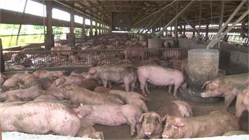 美豬開放 綠:保障豬農權益 中市府:堅持零檢出