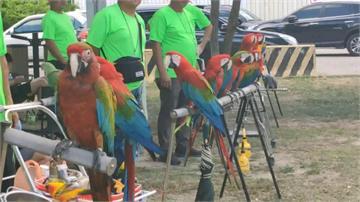 影/放風了!台東池上百隻金剛鸚鵡展翅高飛
