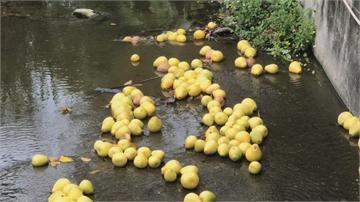 數百顆文旦躺河床 文旦柚放水流?大雨打落沖進水溝 果農心淌血