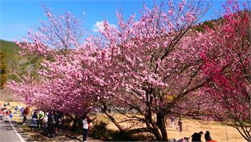 武陵農場櫻花祭將登場 總量管制六千人拚防疫