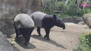 台北市立動物園傳喜訊!馬來貘「貘芳」產超萌寶寶