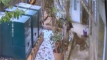 老翁帶5野狗闖民宅!家貓遭無情咬死 侯友宜要求動保處究責