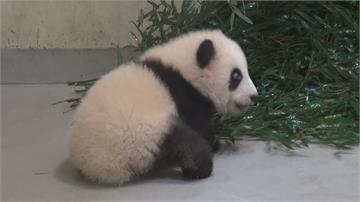 「圓寶」滿四個月! 愛睡貓熊一天只醒一小時