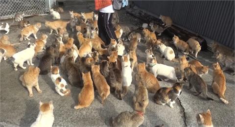 日本聖地貓比人多!「喵軍團」討肉當路霸 浩蕩遊街萌翻全網