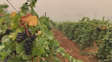 煙燻葡萄無法釀酒 美西野火害慘葡萄園