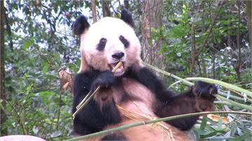 中國想送貓熊掀熱議 高雄環境真能養得起?
