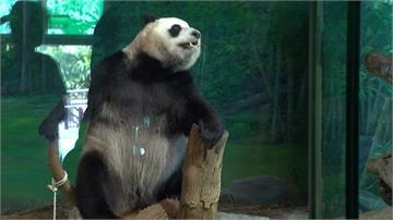 大貓熊圓仔過5歲生日 登大人找另一半