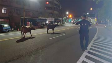 哞哞哞...員警趕牛變牧童主人在路旁睡著了