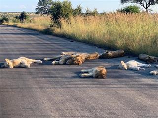 武肺阻止人類出門 獅群優閒睡癱馬路
