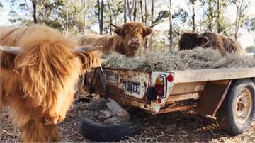 多如牛毛是真的!澳洲高地牛長毛厚重 夏季脫毛換新裝
