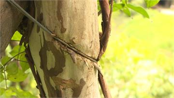 「生態綠舟」樹木病懨懨 原來都是「這個」惹的禍