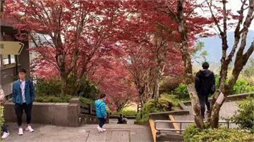 春天也能賞楓紅?夢幻「紫葉槭」階梯就在太平山