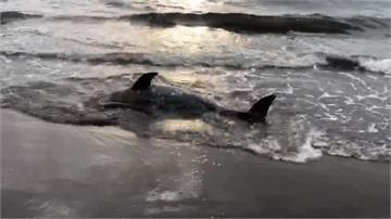 2隻海豚擱淺、頭猛撞沙灘 海巡員獲報搶救
