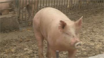 科學驗證+國際標準 美豬進口 豬農呼籲做好規範
