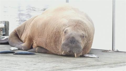 失蹤海象回到冰島 專家:可能南下找食物