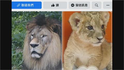 飽受遺傳性腎臟病之苦壽山動物園非洲獅 「小巴」走了