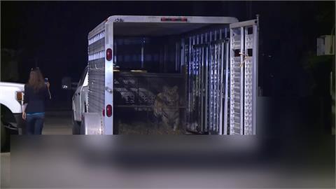 貓狗走丟不稀奇 美國德州「寵物老虎」失蹤了!