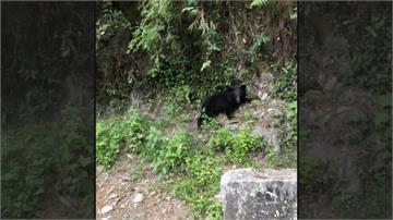 台東利稻村連2天黑熊出沒  網友笑稱可改名「有熊村」