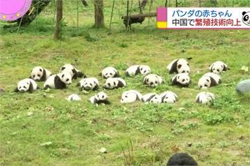 四川36隻貓熊寶寶齊亮相 可愛萌樣超療癒