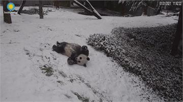 華盛頓特區成銀白世界 貓熊玩雪不亦樂乎
