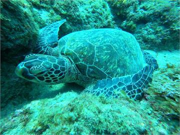 小琉球海龜數量暴增!海巡署曝「2原因」網笑:這種群聚可以
