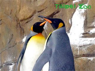 快新聞/向日本借殖一對國王企鵝 昨抵台北 30天檢疫期滿後亮相
