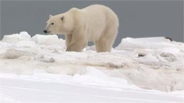 全球暖化加劇!北極熊恐在80年內滅絕