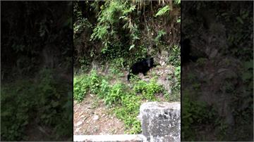 台東海瑞鄉驚見台灣黑熊蹤跡!山壁上攀爬影像全都錄