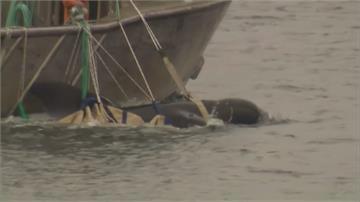 近500領航鯨擱淺澳洲島州 寫下最慘烈紀錄