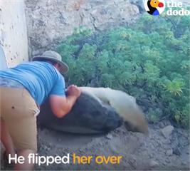 看見一隻大海龜擱淺在沙灘上,男子發現後...接下來的舉動讓網友讚翻了!!