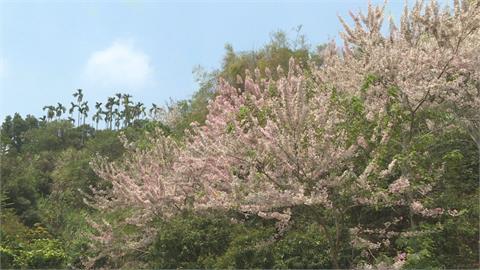 嘉義義隆村花旗木盛開 村長自費千萬種樹