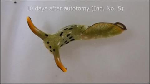 「頭」奔自由! 擺脫體內寄生蟲 海蛞蝓自行「斷頭」