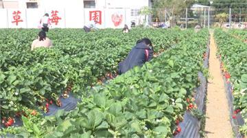 塞車也值得!草莓嬌豔欲滴 苗栗大湖擠滿遊客