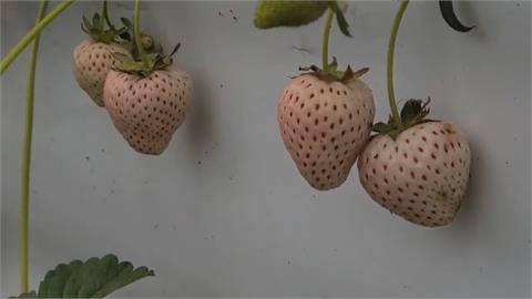 宜蘭草莓苗遭竊!專挑日本高價品種  內行ㄟ?珍貴白草莓苗被偷