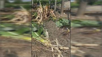 疑似爪子抓過!屏東農田香蕉樹攔腰斷