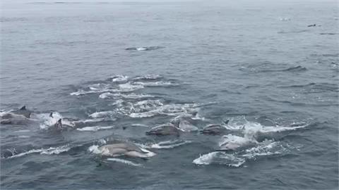 近300隻海豚遨遊躍出海面  大秀舞姿!