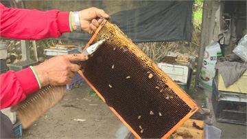 蜜蜂嗡嗡嗡採嘸蜜 蜂蜜產量大減90%