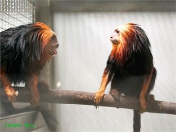 台北動物園首次引進 金頭獅狨、黑吼猴來報到