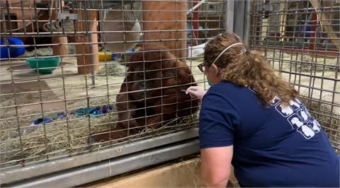 紅毛猩猩「超聽話」露手臂打疫苗 美動物園宣布順利接種11隻靈長類