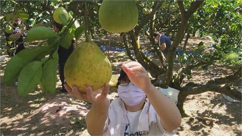 辛苦一年熬到中秋 又強碰颱風 柚農急搶收