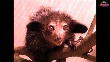 「馬達加斯加」明星真身來台!木柵動物園新嬌客首度曝光