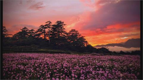 秋季限定粉紅仙境!拍搶福壽山花海隨意踩踏 農場喊話盼自重