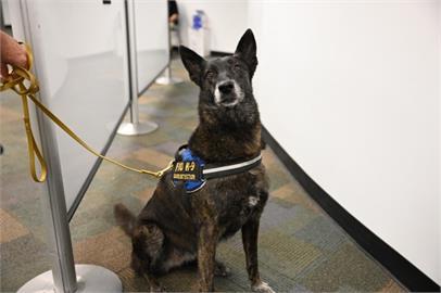 美國機場派出嗅探犬部隊偵測「武肺病毒味道」 準確率高達99%
