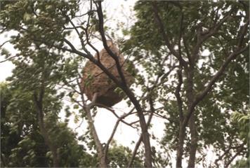 11層樓高樹頂「超大虎頭蜂窩」 要摘除...得先引出上萬隻虎頭蜂出巢